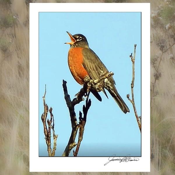 A Robin Sings