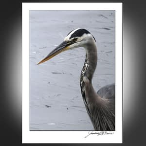 Great Blue Heron Watches Watcher