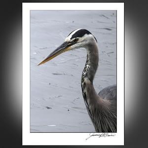 Great Blue Heron Watches Watcher