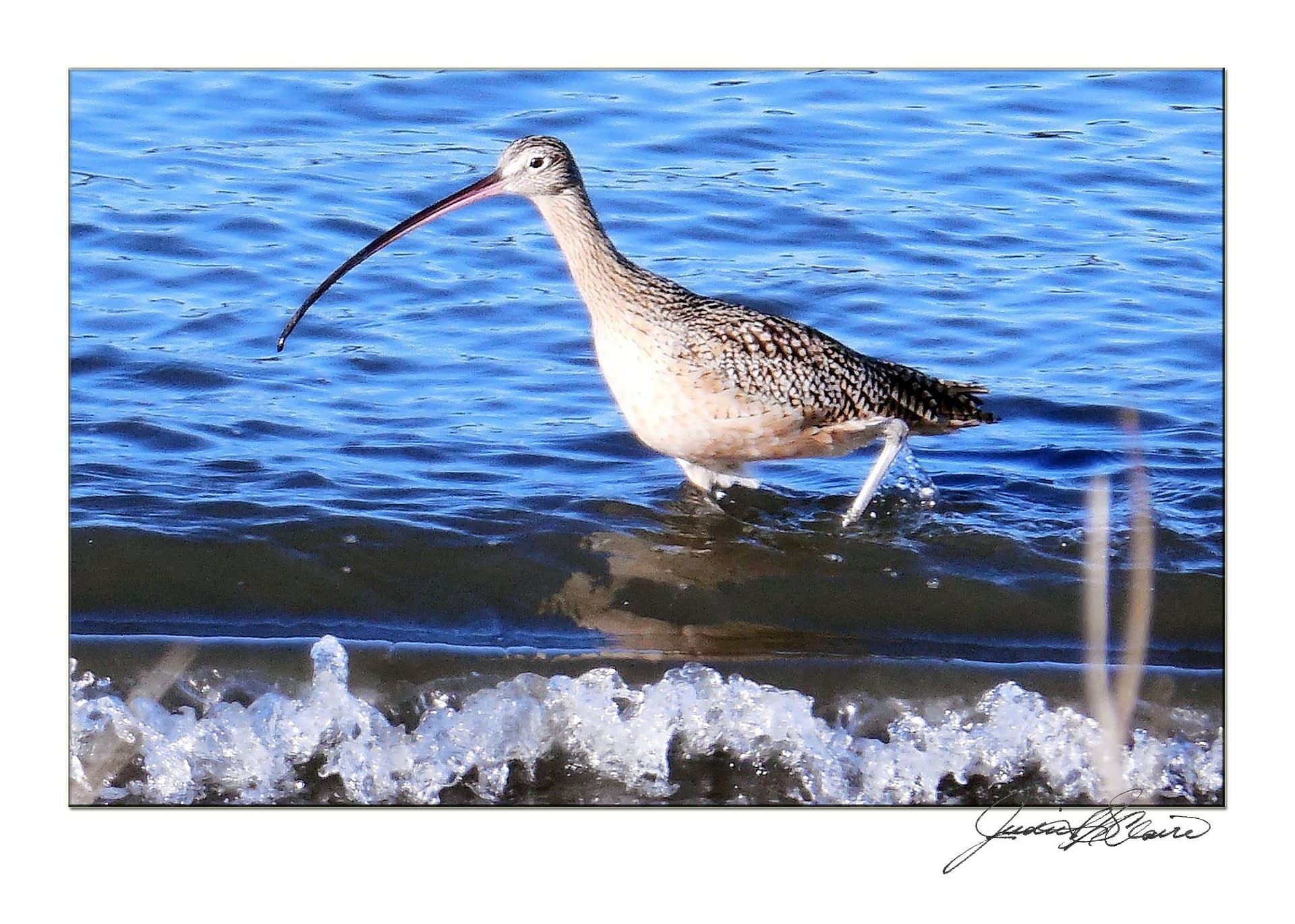 Long Billed Curlew Wading in the Surf